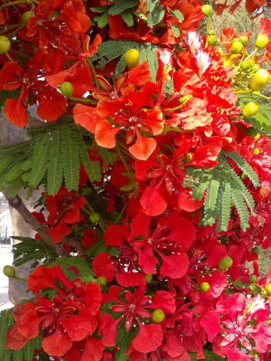 """blumen und blühende bäume ganzjährig"" corona roja playa"