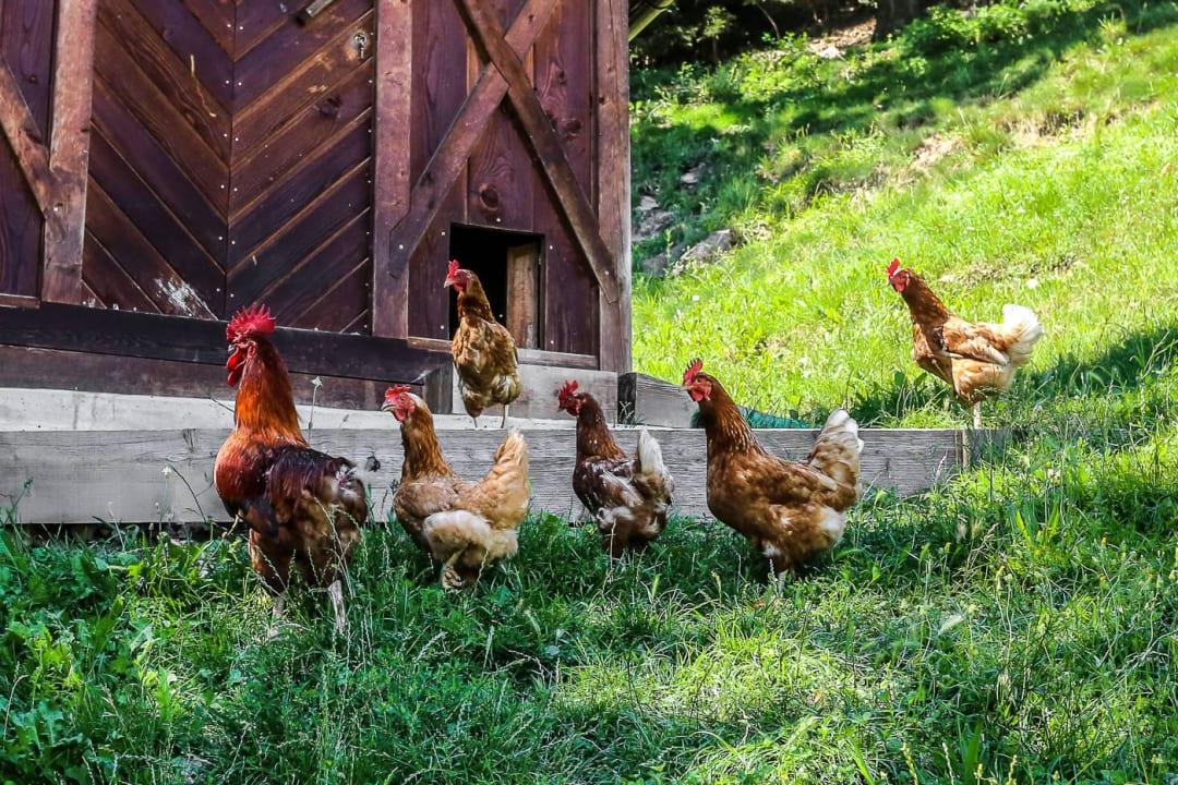 Gackernde Hühner Gostnerhof