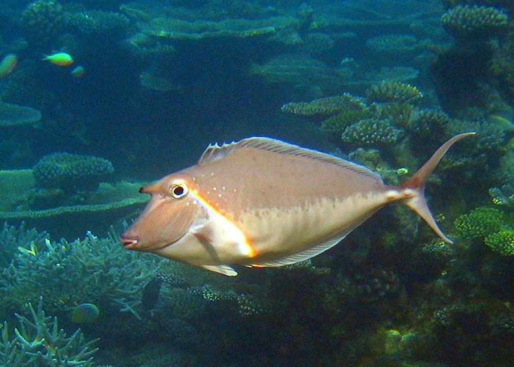 Nasendoktorfisch Velidhu Island Resort