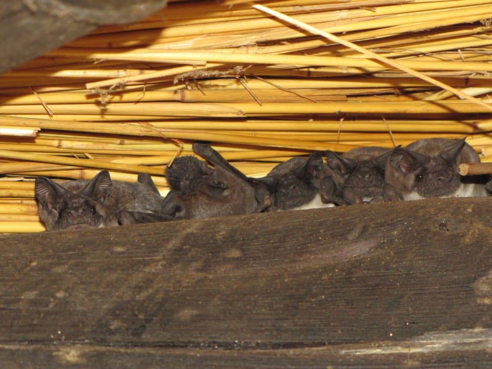 Fldermäuse außen unterm Dach Restcamp Lower Sabie