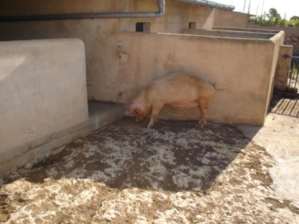 Hausschwein Finca Ca'n Bessol