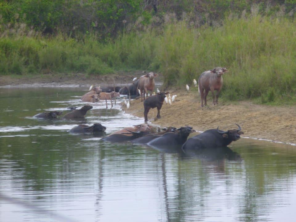 Wasserbüffel am Strandweg Lake View Bungalows