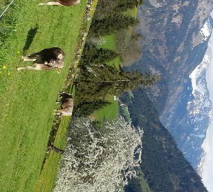Die Kühe freuen sich im April auf saftige Wiesen Naturgesund Haus Viktoria