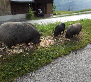 Drei der Hausschweine Alpengasthof Enzianhof