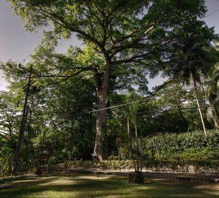 400 Jahre alter Ceiba- Baum Hotel & Club Punta Leona