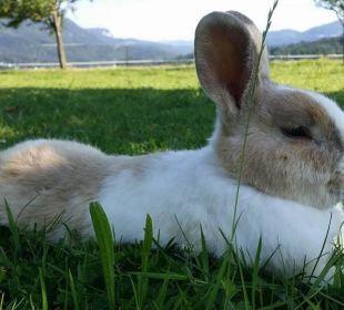 Schlafender Hase freilaufend Bio-Bauernhof Zacherlhof