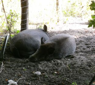 Wildschweine im Schloßgehege Hotel Zamek Karnity
