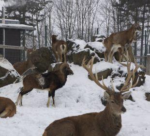 Wildgehege direkt vor der Tür Hotel Harzhaus