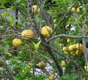 Zitronenbäume Hotel Livadi Nafsika