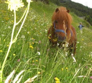 2 kinderfreundliche Shetlandponys Berghof Thöni