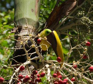 Einer von sechs Tukan- Arten in Costa Rica Hotel & Club Punta Leona