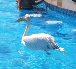 Pelikan Landung an der Poolbar