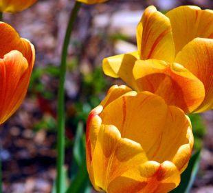 Tulpen vor dem Haus Ferienwohnungen Theresienhof