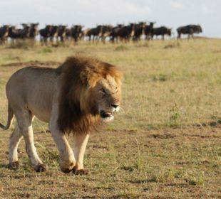 Löwe in Masai Mara Mara Bush Camp