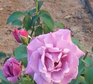Rose-Königin der Blumen. Vantaris Beach Hotel