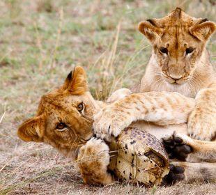 Junge Löwen beim Spielen Mara Bush Camp