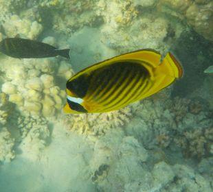 Tabak-Faltenfisch