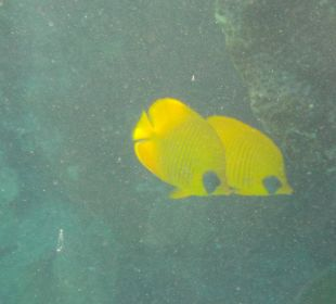 Maskenfaltenfisch
