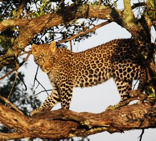 Leopard cub at sunrise Mara Bush Camp