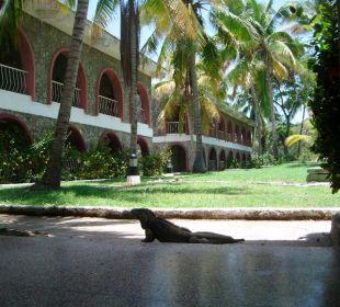 Leguan vor einem Zimmerblock Hotel Club Amigo Bucanero (existiert nicht mehr)