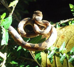 Katzenaugenschlange Esquinas Rainforest Lodge