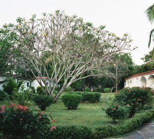 Karger Baum mit wunderschönen Blüten Hotel Diani Sea Lodge