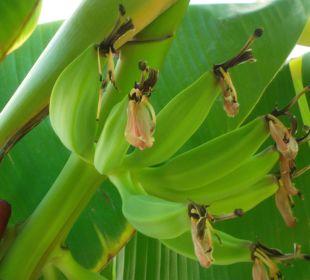 Bananen in der Hotelanlage im Tigaki Star