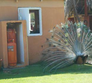 Pfau auf der Ranch von Rudi COOEE at Grand Paradise Samana