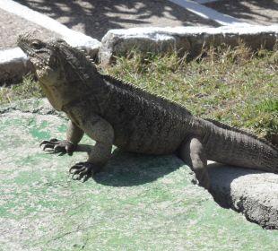 Leguane im Garten Hotel Club Amigo Bucanero (existiert nicht mehr)