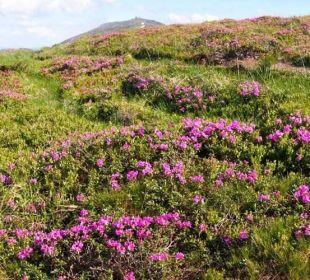 Almrosenblüte Alpengasthof Pension Praxmar