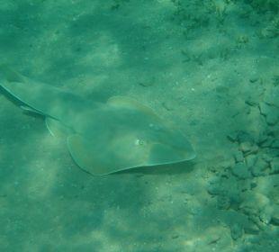 Engelshai beim Hausriff