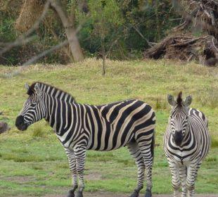 Garten mit Zebras und Springbock Hotel Rothman Manor