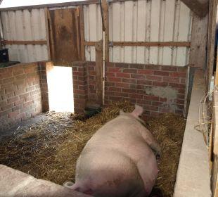 Molly das Schwein Ferienhaus Wattkuckuck