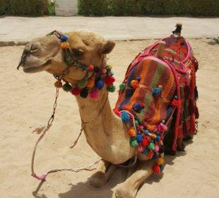 Kamelbesuch findet täglich statt