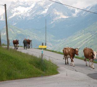 Die hauseigenen Kühe  Almgasthof Baumschlagerberg