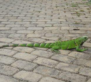 Ein Leguan in der Anlage IBEROSTAR Hotel Bahia