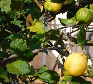 Zitronen im Überfluss SENTIDO Porto Soller