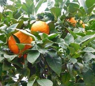 Apfelsinen und Mandarinen wo man hinschaut!! SENTIDO Porto Soller