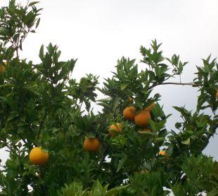 Orangenbäume Hotel Livadi Nafsika