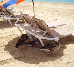 Gänse am Strand Hotel Rocamar Beach