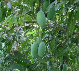 Mangobäume vor dem Haus. Guest House Green Garden House