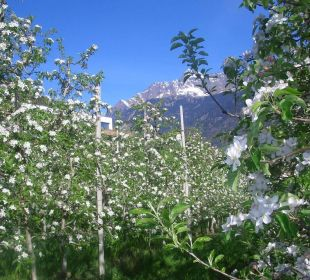 Blühende Apfelbäume am Hotel Hotel Residenz Pazeider