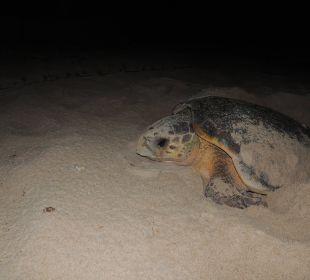 Lederschildkröte  IBEROSTAR Hotel Bahia