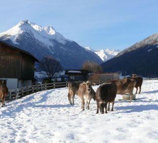 Auch unsere Kühe lieben den Schnee Pension Schottenhof