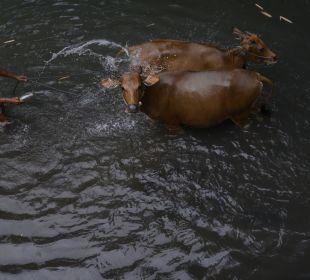 Die schönsten Kühe... Saraswati Holiday House
