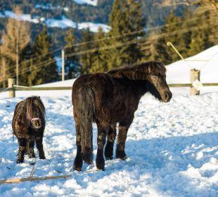 Blacky und Tinky werden im Sommer täglich geritten Familotel Seitenalm