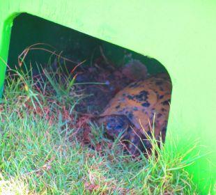 Die Schildkröten  Hotel Steigenberger Coraya Beach