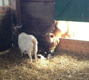 Hallo ihr kleinen Ziegen Ferienhaus Wattkuckuck
