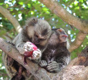 Affen sind immer da IBEROSTAR Hotel Bahia