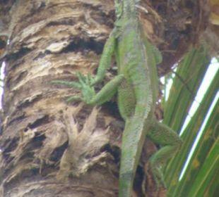 Iguana przy basenie Hotel Isla Caribe Beach